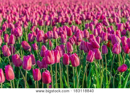 Closeup of dark pink colored tulips in early morning sunlight at the field of a specialized bulb grower in the Netherlands. It is in the beginning of the spring season.