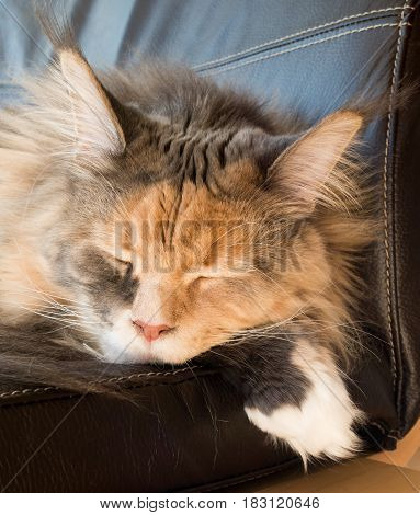 Closeup of a beautiful blue tortie tabby with white Maine Coon cat with extremely long lynx tips sleeping on a leather armchair.