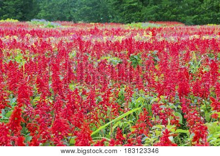 Landscape beautiful red flowers in the garden Bogor West Java Indonesia