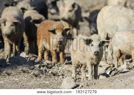 Herd of Mangalica a Hungarian breed of domestic pigs