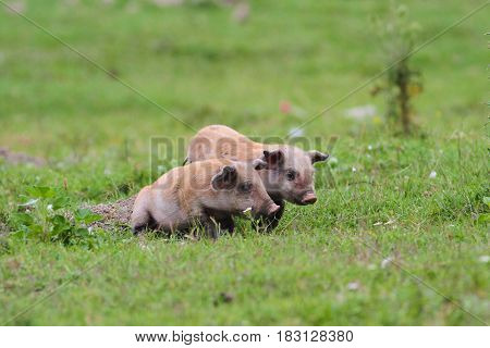 Two cute baby pigs on the meadow