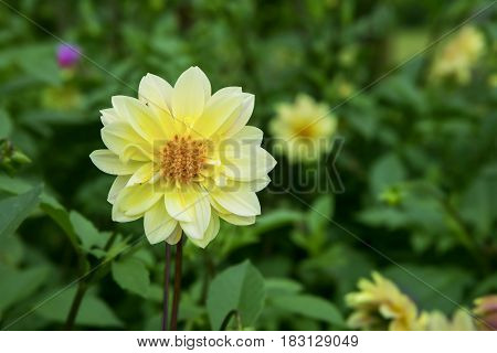 Picture of a yellow dahlia flower blooming in the garden