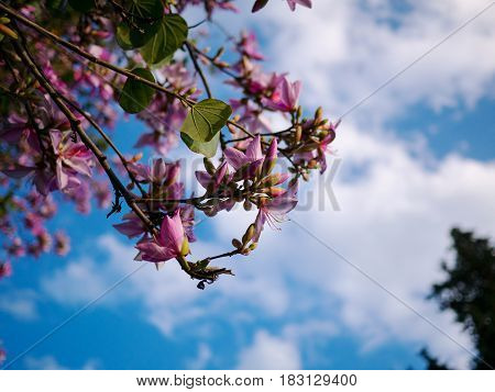 Pink Flower On Acacia Tree With Blue Sky