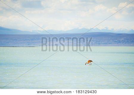 Flamingo In The Lagoon On The Altiplano, Bolivia