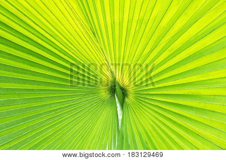 Close up of a green fan palm leaf under sunlight