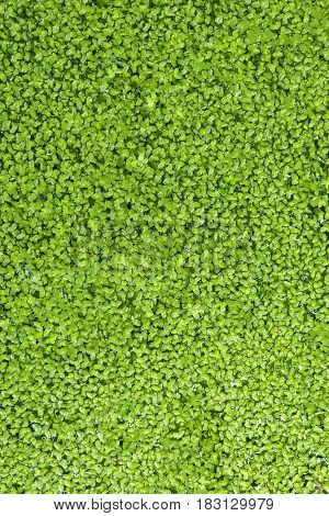 Close up of fresh green algae floating in the water