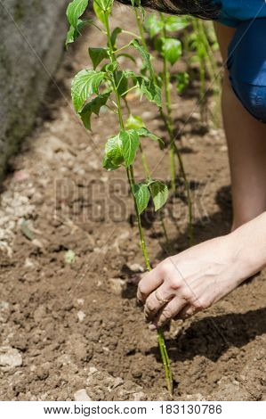 Adherence To The Sprout During Planting