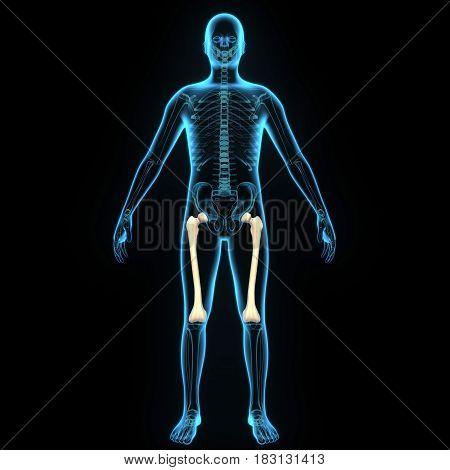 3d illustration human body femur of a human body parts