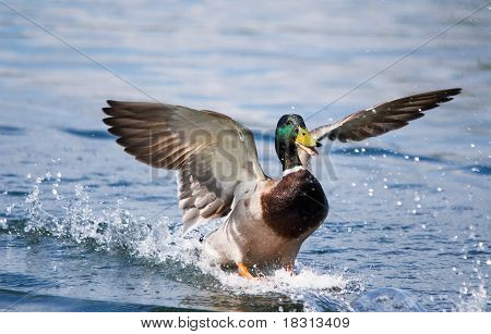 Mallard Duck Landing