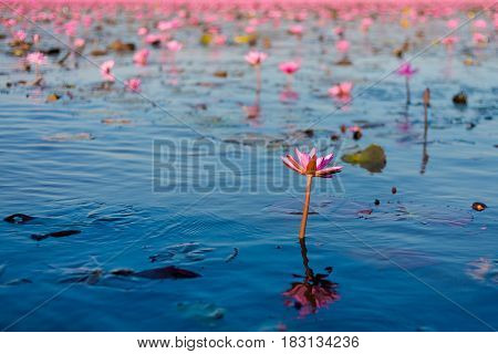 Red Lotus Lake Udon Thani