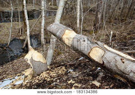 Beaver gnawed trees. Building material for lodges and dams from beaver. Wild world of animals in rivers. Habitat aquatic mammals.