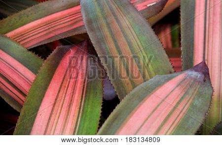 Criss cross pattern of beautiful green and pink striped leaves in garden