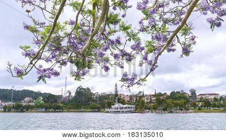 Jacaranda flowers blooming season the shores of Lake Xuan Huong, Da Lat, Vietnam