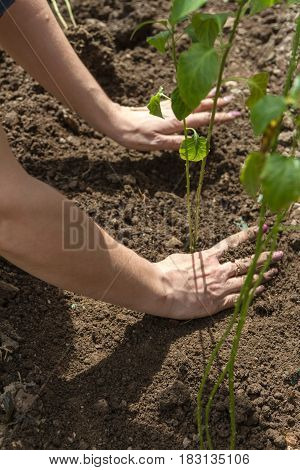 A Woman's Hand Smoothes The Ground Near The Seedling