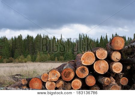Pile Of Felled Trees On Foreground And Green Coniferous Forest On Background Under Gloomy Overcast S