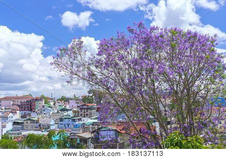 Da lat, Vietnam - March 28th, 2017: Jacaranda flowers bloom on the hill next to the village in the spring of plateau in Da lat, Vietnam