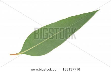 Eucalyptus Leaf Isolated
