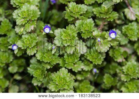 Flowering Ornamental Grass