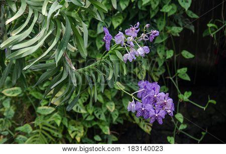 Beautiful Blue Orchidaceae Flowers At Mainau Island Garden. Germany