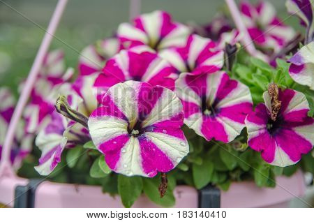 Beautiful Petunia Flowers At Mainau Island Garden. Germany