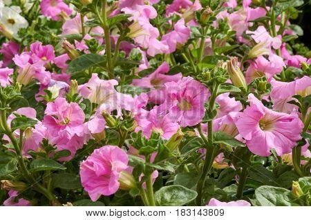 Bellflower In Bloom In The Garden