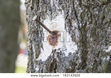 Rusty nail on tree trunk for concept background