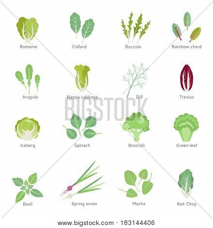 Salad ingredients. Leafy vegetables vector flat icons set. Organic and vegetarian.