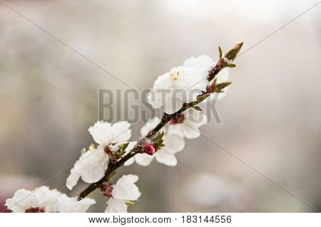 Sprig of apricots with flowers covered with snow on a blurred background