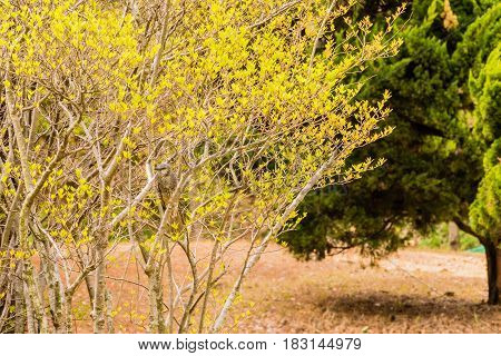 Brown-eared Bulbul perched in a tree with yellow leaves with a blurred out pine tree in the background