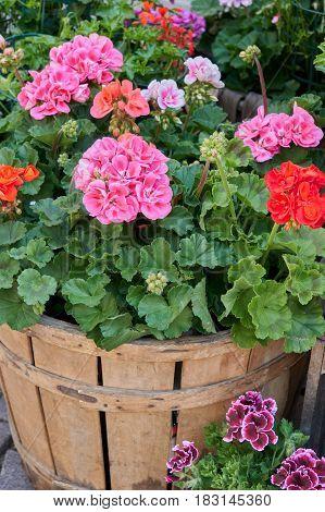 geranium in bloom in the box in the garden