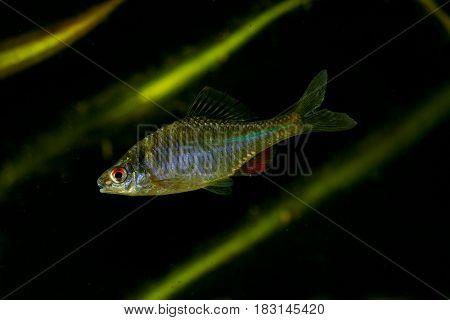 Amur Bitterling Rhodeus sericeus fresh water fish on black