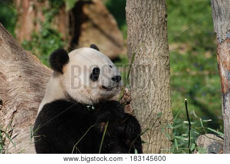 Gorgeous giant panda bear eyeing some bamboo shoots.