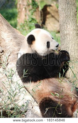 Wild giant panda bear leaning against a tree trunk.