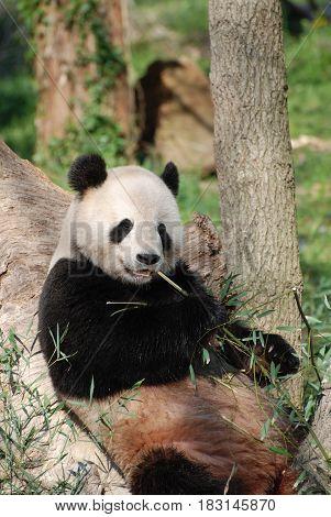 Panda bear leaning against a tree and eating bamboo shoots.
