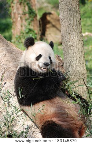 Giant panda bear leaning against a tree eating a bamboo shoot.
