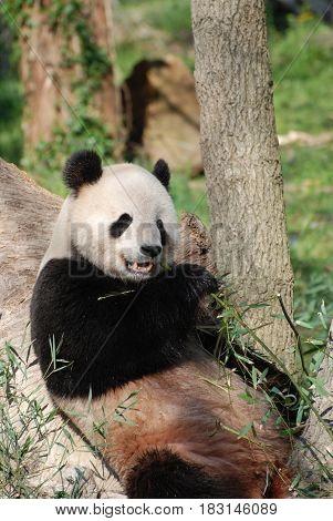 Fantastic capture of a wild panda bear eating bamboo shoots.