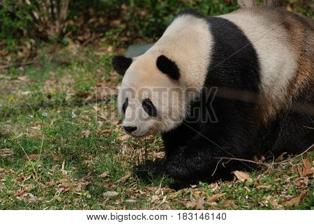 Giant panda bear walking along on all fours