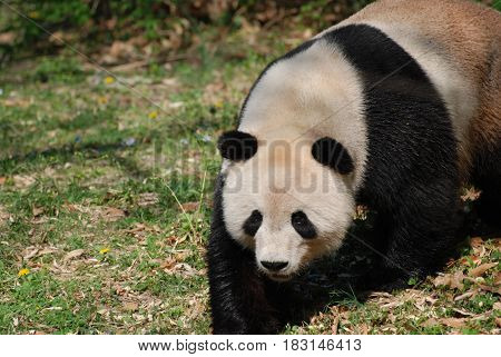 Ambling giant panda bear with a really sweet expression.
