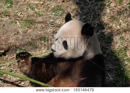Giant panda bear eating shoots of green bamboo.
