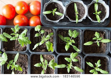 Saplings Of Tomatoes In Pots And Red Ripe Tomatoes Series. Top View.