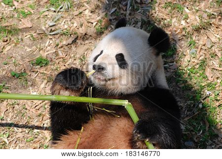 Giant panda bear laying on his back while eating shoots of bamboo.