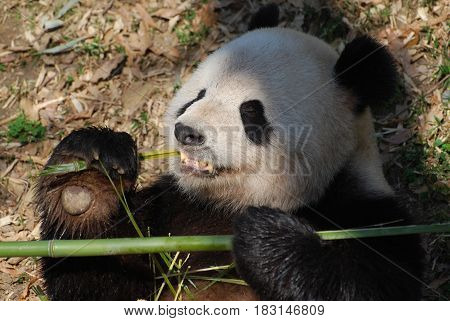 Adorable giant panda bear eating shoots of bamboo.