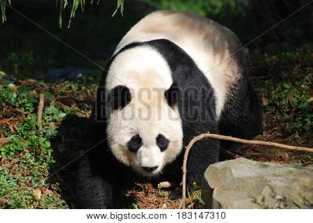 Beautiful sweet Chinese giant panda bear walking about.