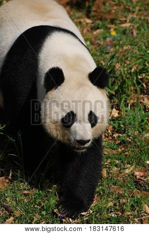 Giant panda bear waddling across a grass field.