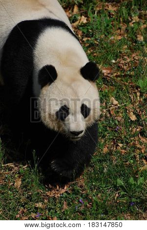 Cute giant panda bear waddling across a field.