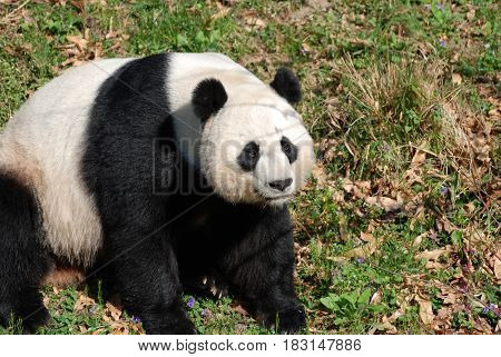 Sweet black and white Chinese panda bear sitting down.