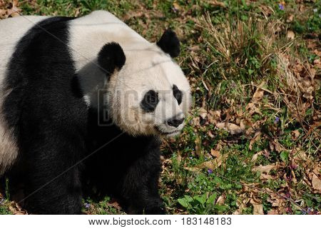 Beautiful giant panda bear sitting in a grassy field.