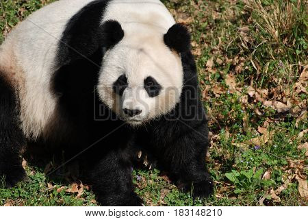 Giant panda bear sitting in grass on a sunny day.