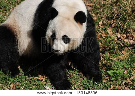 Cute black and white giant panda bear sitting back on it's haunches.