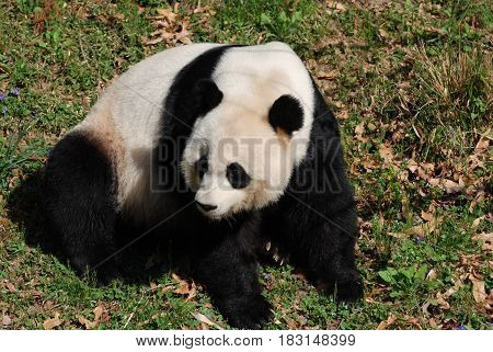 Large giant panda bear sitting and looking back.